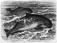 Barna delfin