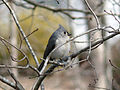 Tufted Titmouse USA.jpg