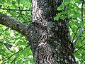 Tulip Poplar - Flickr - treegrow (3).jpg