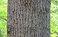 Tulip Tree Liriodendron tulipifera Trunk Bark 3000px.jpg
