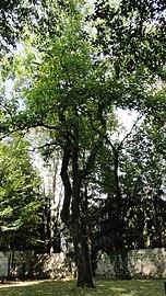Tulpenbaum im Schlossgarten Welzenegg.jpg