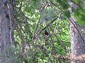 Turdus merula, Nis, Serbia 02.jpg