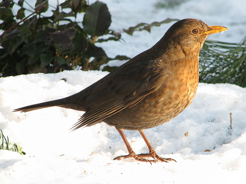 File:Turdus merula female (d1).jpg