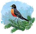 Turdus migratoriusFJ03P01CA.JPG