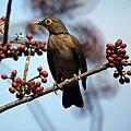 Turdus nudigenis -Grenada-8.jpg
