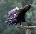 Turkey Vulture 2 (6022487536).jpg