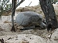 Turtle preparing to lay 6473.JPG