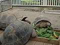 Turtles, Atagawa 02.jpg