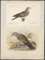 Turtur auritus - 1700-1880 - Print - Iconographia Zoologica - Special Collections University of Amsterdam - UBA01 IZ15600385.tif