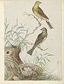 Twee geelgorzen, bij een nest met vier eieren.jpeg