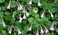 Twin Flower (9323975626).jpg