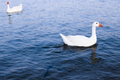 Two Emden Geese swimming in the Al Qudra Lake.png