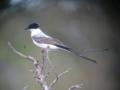 Tyrannus savana Sirirí tijeretón Fork-tailed Flycatcher (33110221201).png