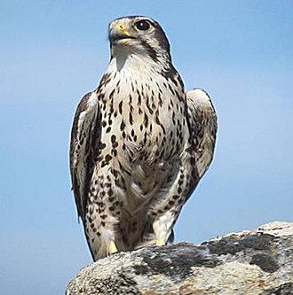 Prairie falcon - Image: USGS Prairie Falcon