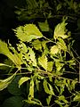 Ulmus × viminalis 'Aurea'.JPG