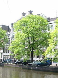 <i>Ulmus</i> × <i>hollandica</i> Belgica Elm cultivar