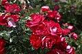 Una rosa alemana gana el concurso internacional 'Villa de Madrid' 01.jpg