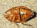 Unidentified cockroach2.jpg
