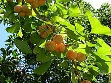Ginkgo biloba - Wikipedia, la enciclopedia libre