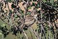 Upcher's Warbler (Hippolais languida) (8079442053).jpg