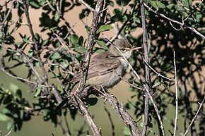 Description de l'image Upcher's Warbler (Hippolais languida) (8079442053).jpg.