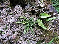 Uracher Wasserfall Farne auf Tuff-Felsen 01.jpg