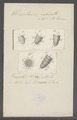 Urceolaria nasuta - - Print - Iconographia Zoologica - Special Collections University of Amsterdam - UBAINV0274 113 21 0012.tif