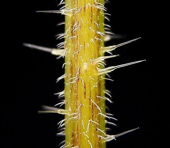 The stinging hairs of Stinging Nettle.