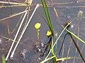 Utricularia cornuta 1-eheep (5098008718).jpg