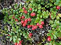 Vaccinium vitis-idaea var minus Denali AK.jpg