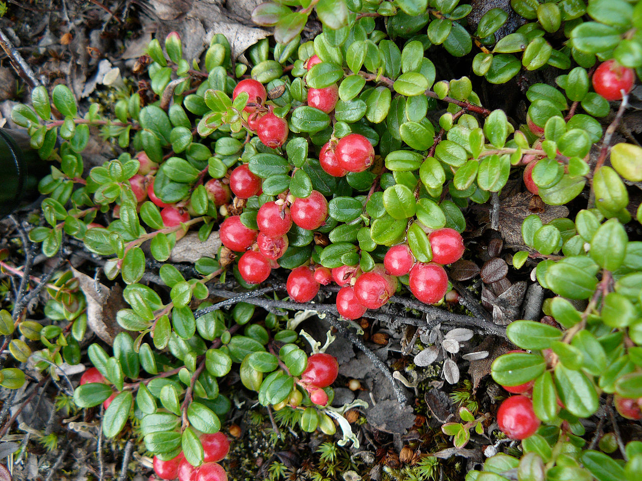 Image Result For Low Bush Cranberry