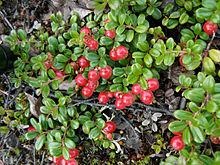 Rhode Island Strawberries