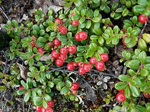 Vaccinium vitis-idaea - Vaccinium vitis-idaea var. minus
