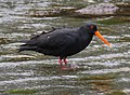 Variable oystercatcher 2 (31595947646).jpg