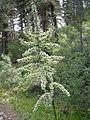 Veratrum californicum-7-06-04.jpg