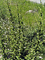 Verbascum virgatum Habitus1 Miguelturra CampodeCalatrava.jpg