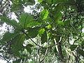 Vernonia arborea-3-bsi-yercaud-salem-India.JPG