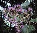 Vernonia arborea 01.JPG
