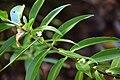 Veronica barkeri in Christchurch Botanic Gardens 01.jpg