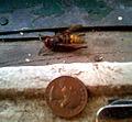 Vespa crabro queen.jpg