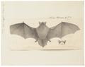 Vespertilio nattereri - 1700-1880 - Print - Iconographia Zoologica - Special Collections University of Amsterdam - UBA01 IZ20800127.tif