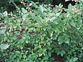 Viburnum nudum 6zz.jpg