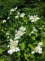 Viburnum opulus sl11.jpg