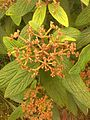 Viburnum rhytidophyllum 092458 - 01.jpg