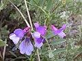 Vicia americana (4117590746).jpg