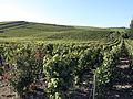 Vigne Pinot noir (Chatillon sur Marne) Cl.J.Weber01 (23050679893).jpg