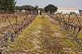 Vigne jaune de Crepis sancta.jpg