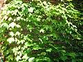 Vigne vierge (Parthenocissus tricuspidata).jpg