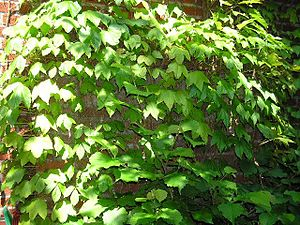 Parthenocissus tricuspidata - Foliage on a cultivated plant
