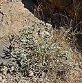 Viguiera reticulata 1.jpg